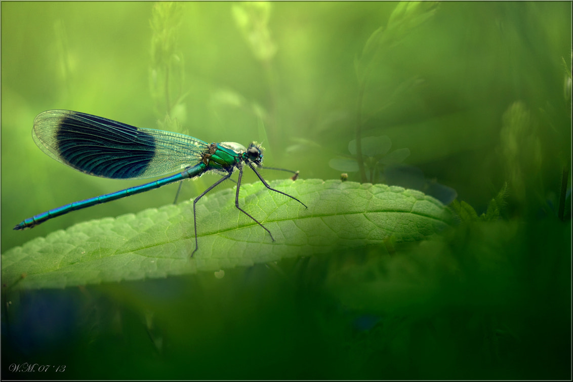 Photograph Banded Demoiselle by Wil Mijer on 500px