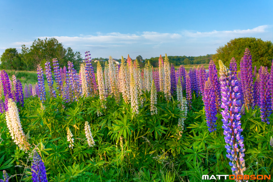 Photograph Colorful Lupins by Matt Dobson on 500px