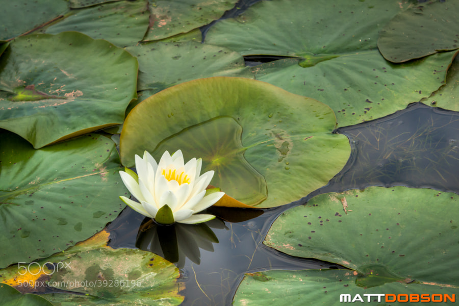 Photograph Water Lilly by Matt Dobson on 500px