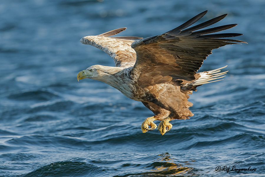 Photograph White tailed Eagle by Raf Raeymaekers on 500px