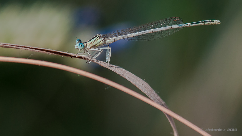 Photograph Crazy damselfly... muahahahaha by Carlos Suárez on 500px