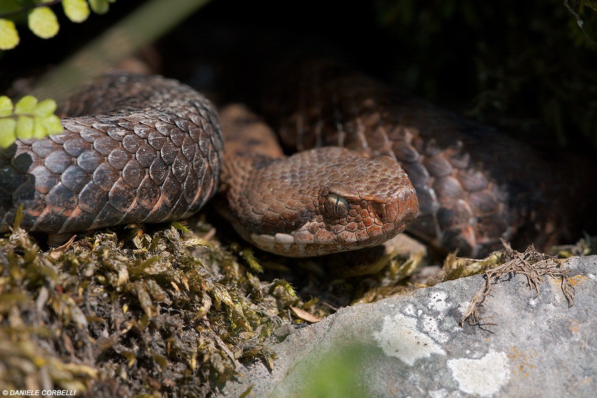 Photograph The Great Southern Trendkill (Vipera) by Daniele Corbelli on 500px