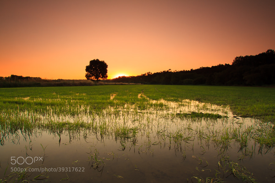 Photograph Sunrise in a rice field by Helder Coelho on 500px