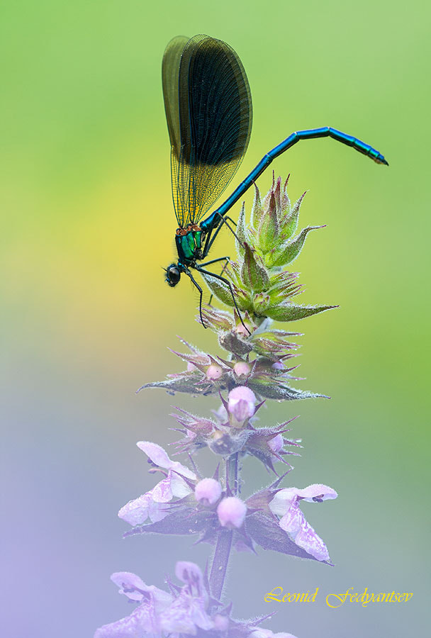 Photograph Calopteryx Etude by Leonid Fedyantsev on 500px