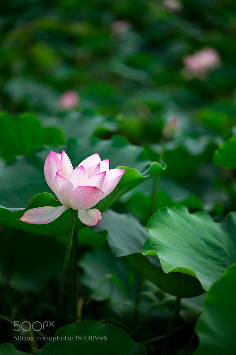 Photograph Lotus by MemoriaImagery on 500px