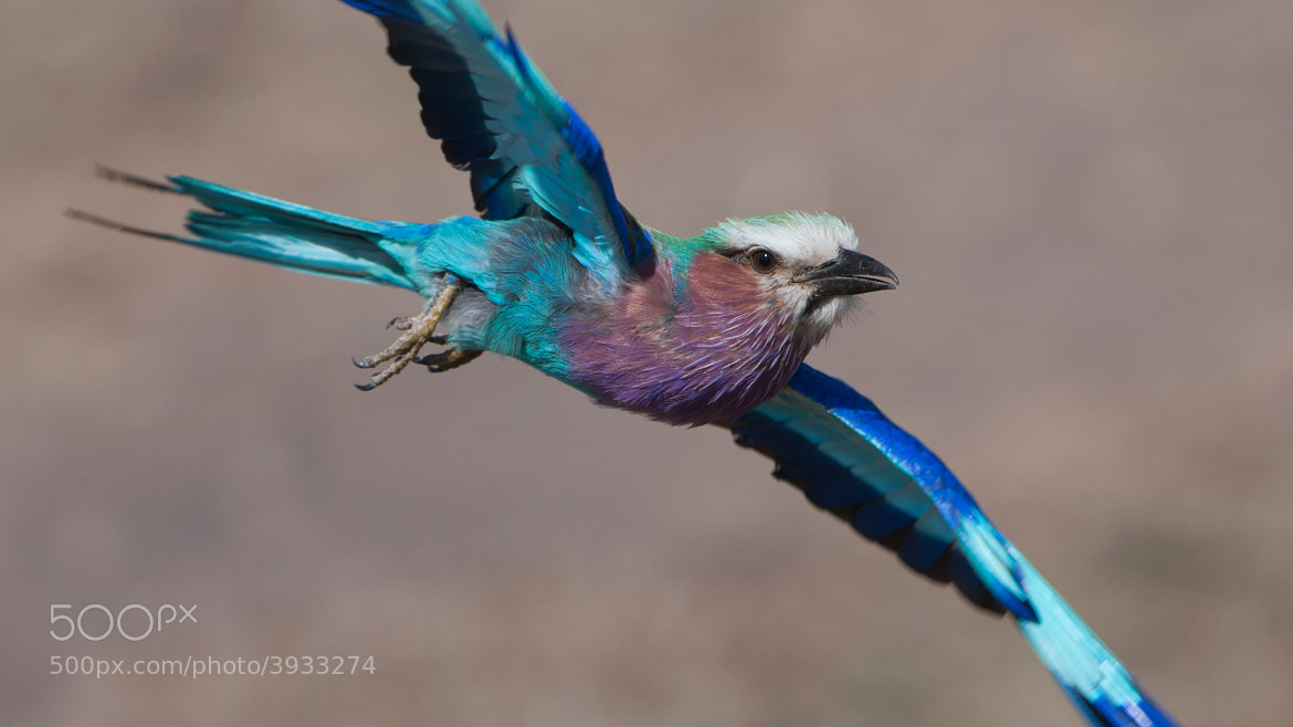 Photograph Lilac-breasted Roller in Flight by Raymond Barlow on 500px