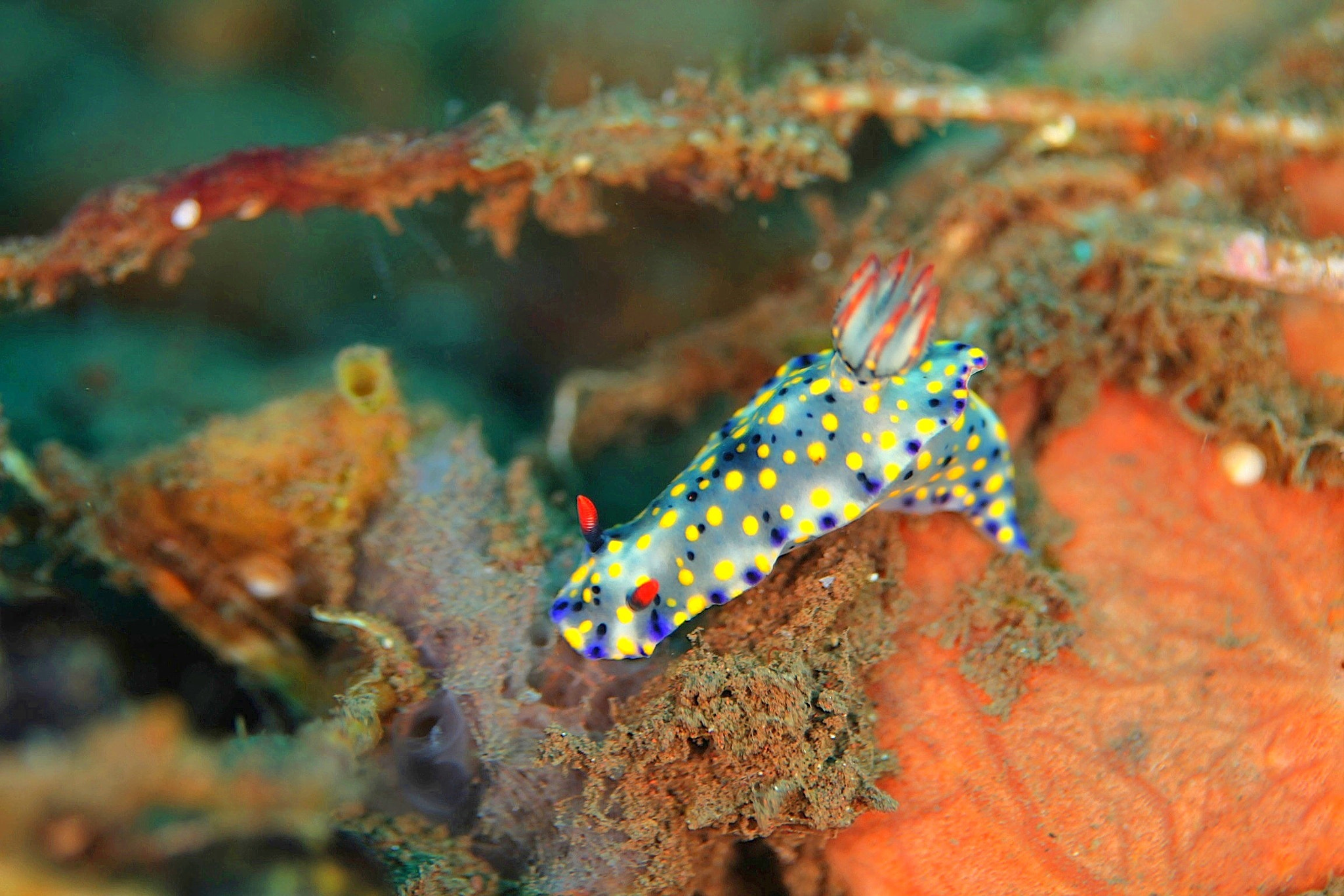 Photograph Nudibranch - Hypselodoris Infucata  by Kirin Goh on 500px