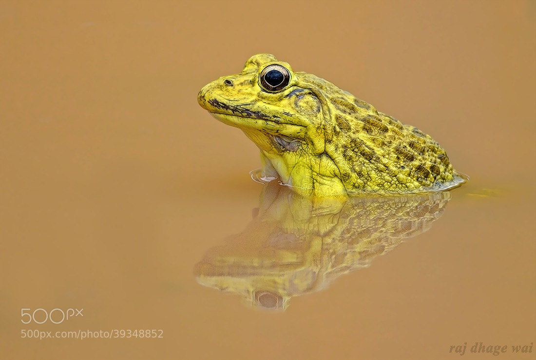 Photograph bullfrog  by raj dhage on 500px