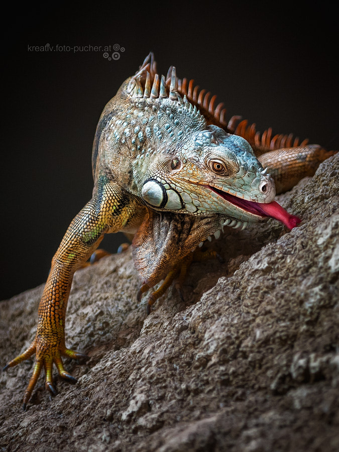 Photograph Mr. Iguana by Michaela Pucher on 500px