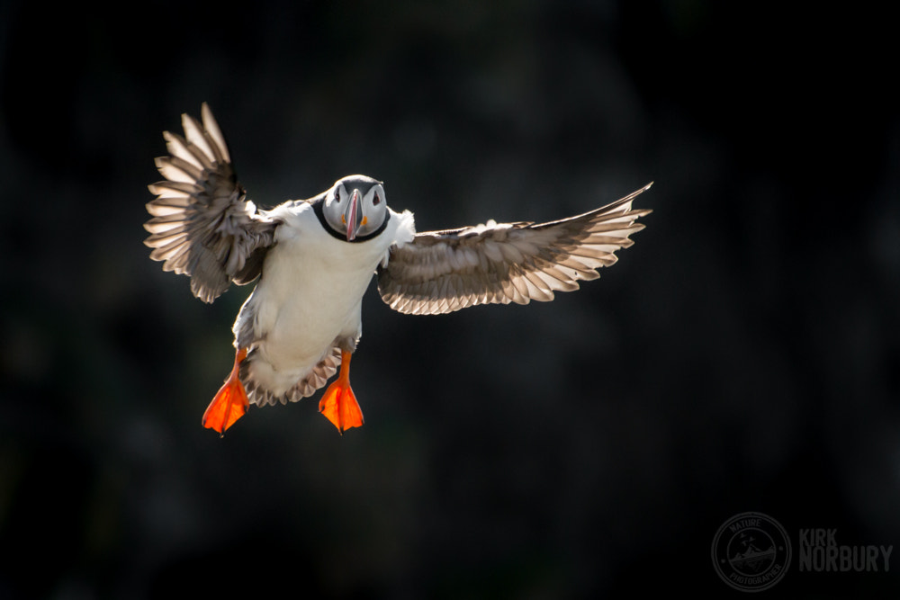 Photograph Icelandic Puffin In Flight by Kirk Norbury on 500px