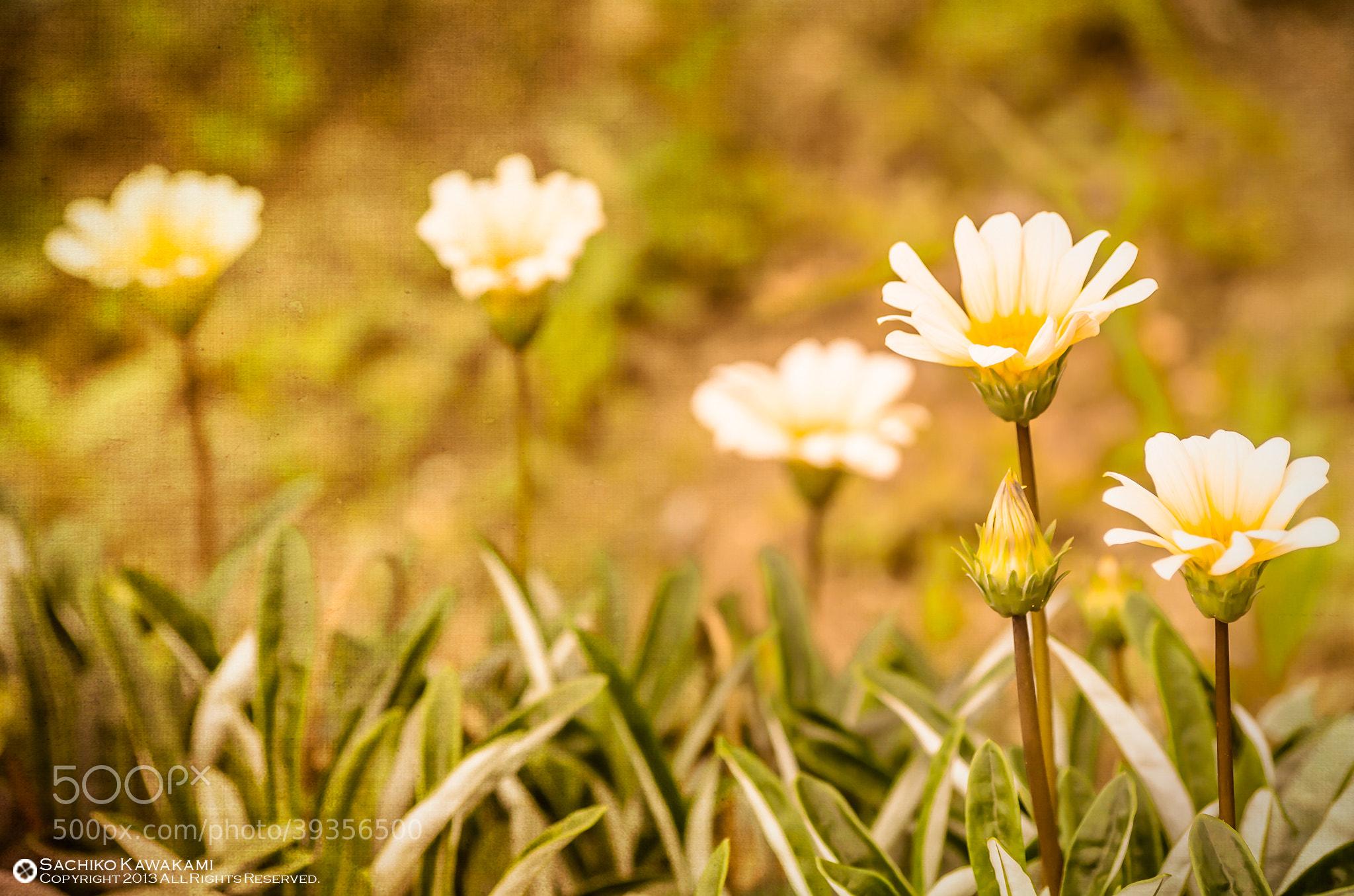 Photograph Gently by Sachiko Kawakami on 500px