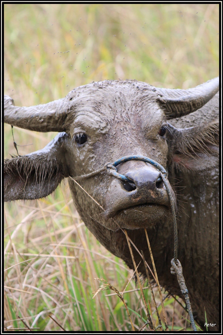 Photograph The Buffalo by Pietro Damele on 500px