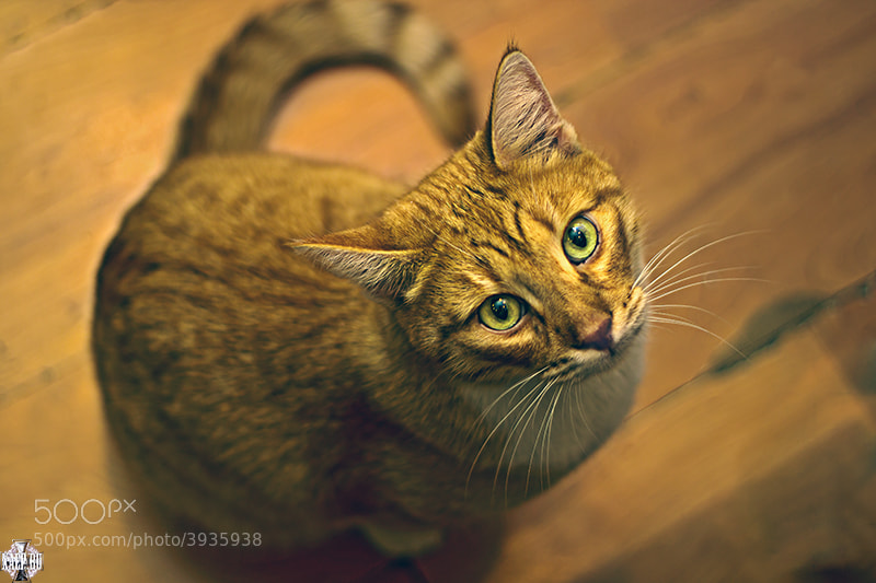 Photograph Red cat by Xaep =)) on 500px