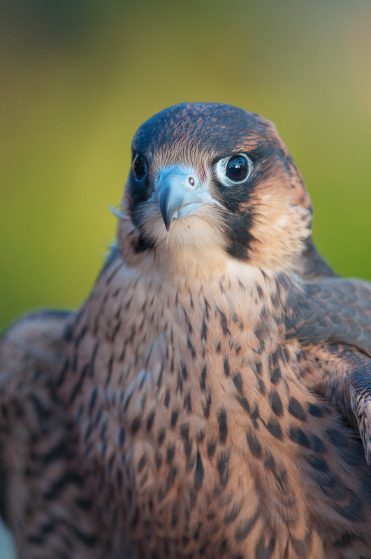 Photograph Barbary Falcon by Dieter Schaefer on 500px