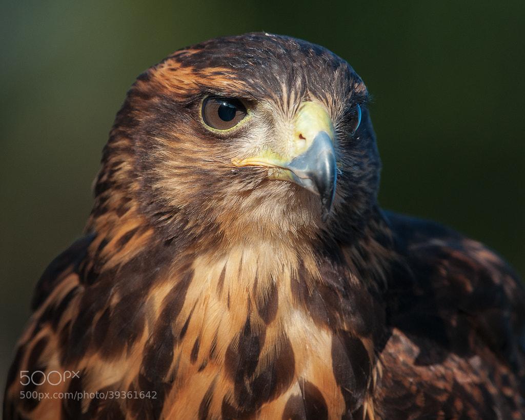 Photograph Harris Hawk by Dieter Schaefer on 500px