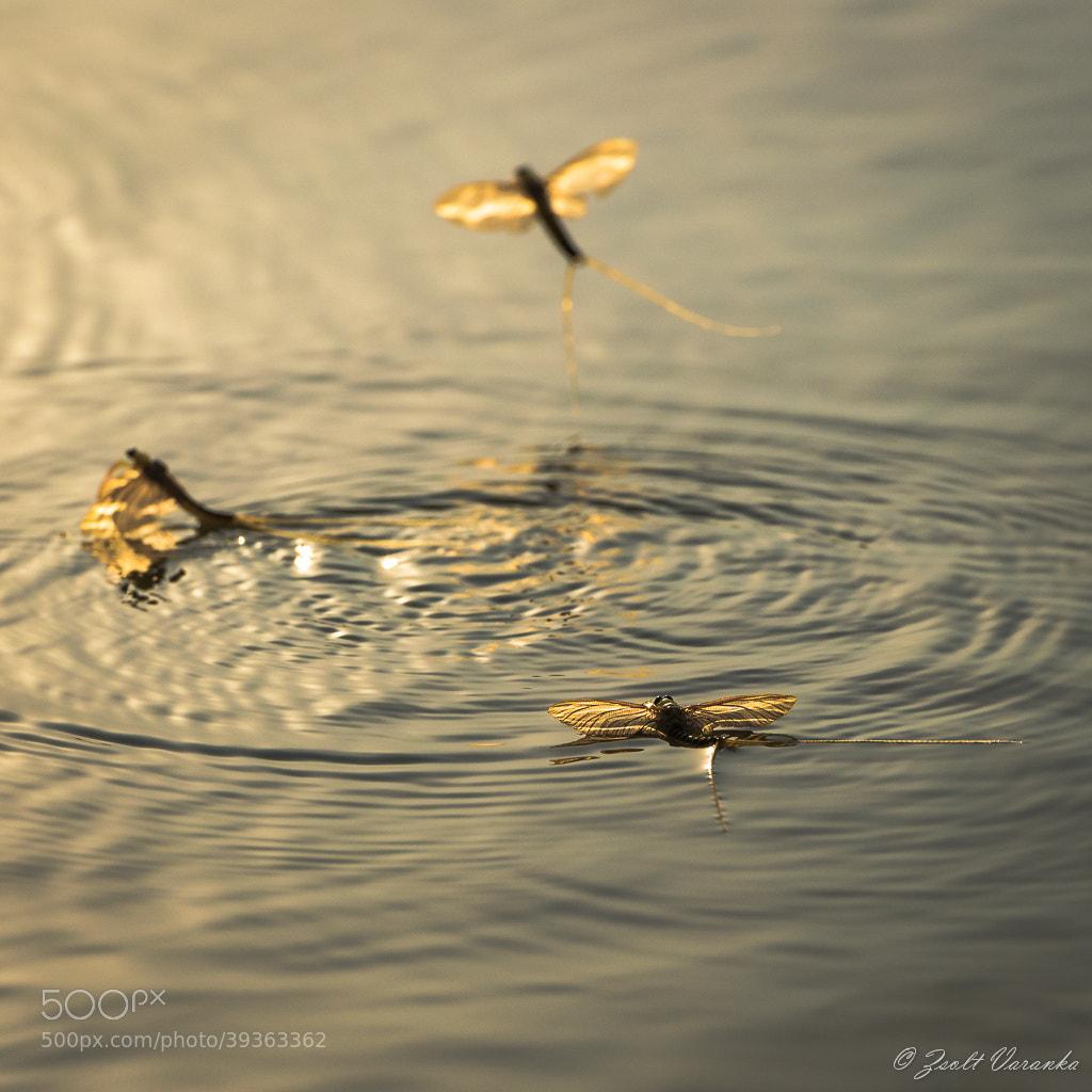 Photograph Tisza Mayfly (Palingenia longicauda) by Zsolt Varanka on 500px