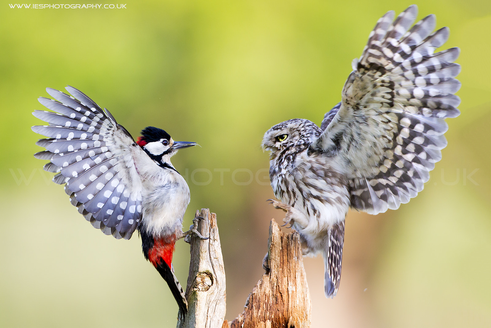 Photograph Little Owl and Great Spotted Woodpecker Fight by Ian Schofield on 500px