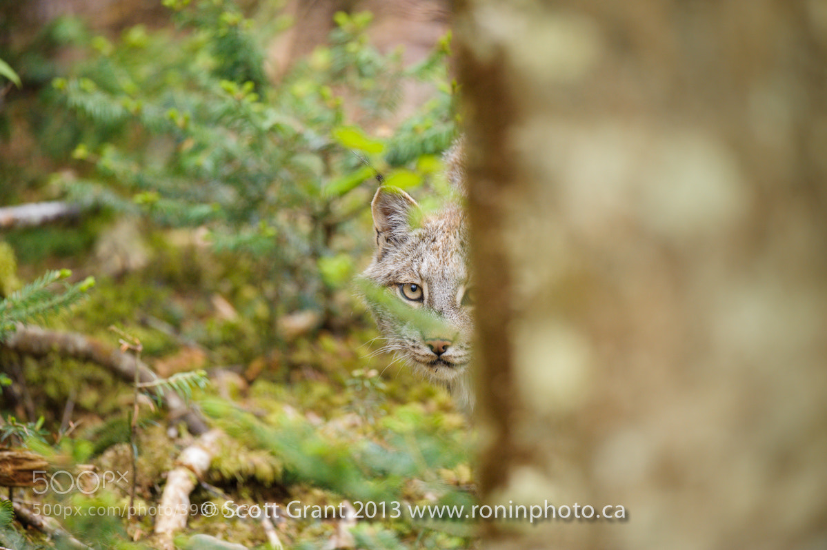 Photograph Lynx canadensis by Scott Grant on 500px