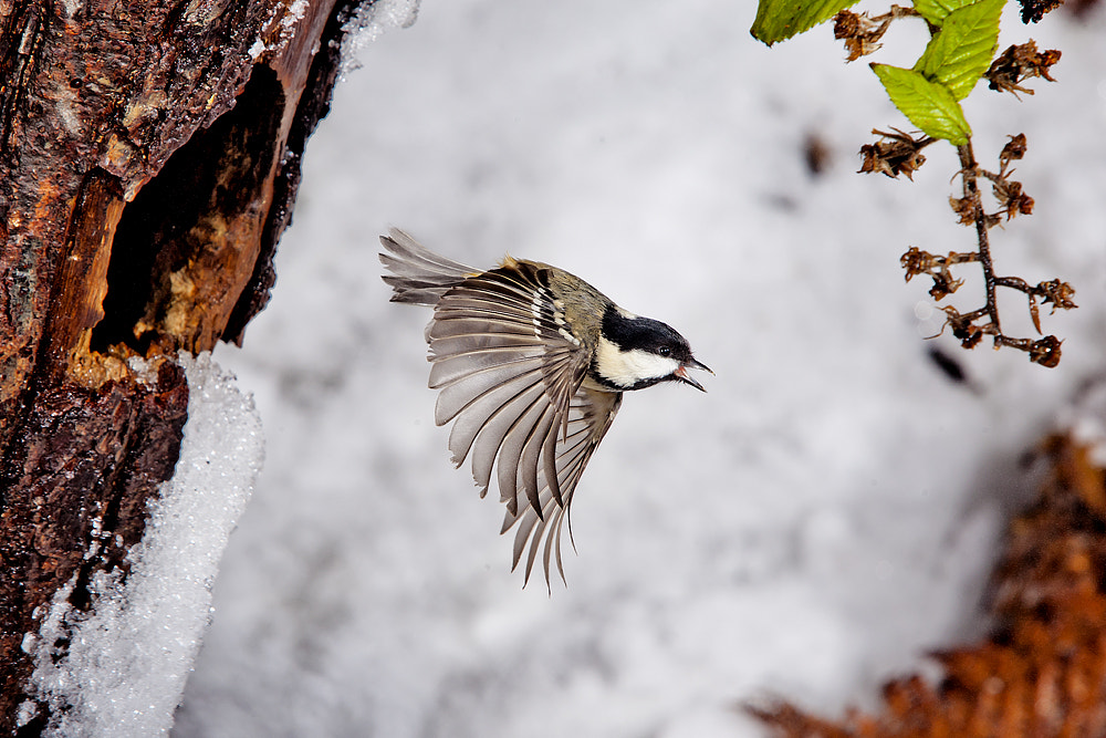 Photograph Coal Tit in the Snow by Dale Sutton on 500px