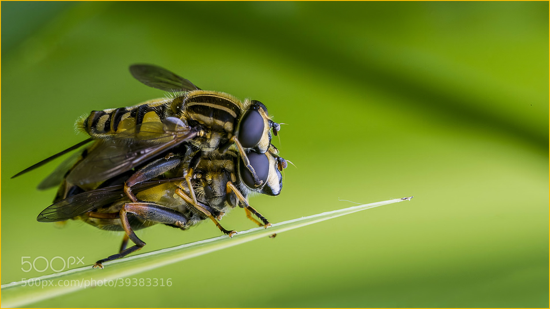 Photograph Mating Hoverflies by allan squires on 500px