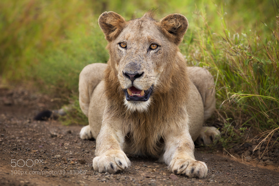 Photograph Lion On The Side Of The Road by Mario Moreno on 500px