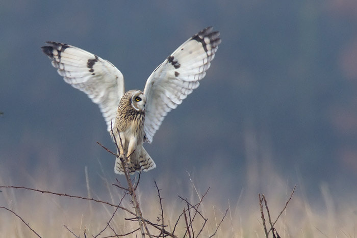 Photograph Angelic Short Eared Owl by Ian Cook on 500px