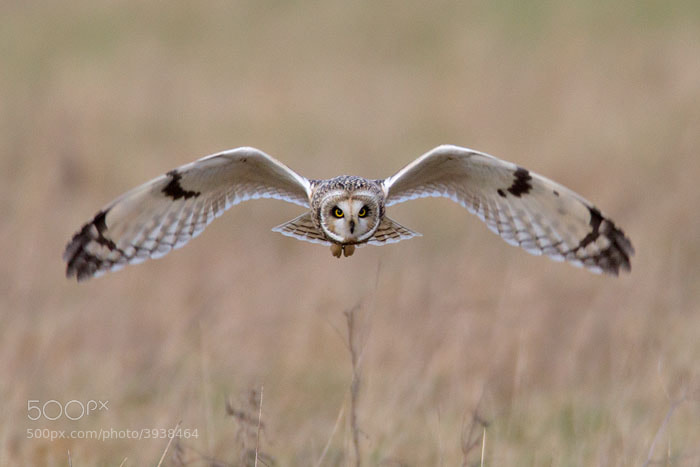 Photograph Short Eared Owl by Ian Cook on 500px