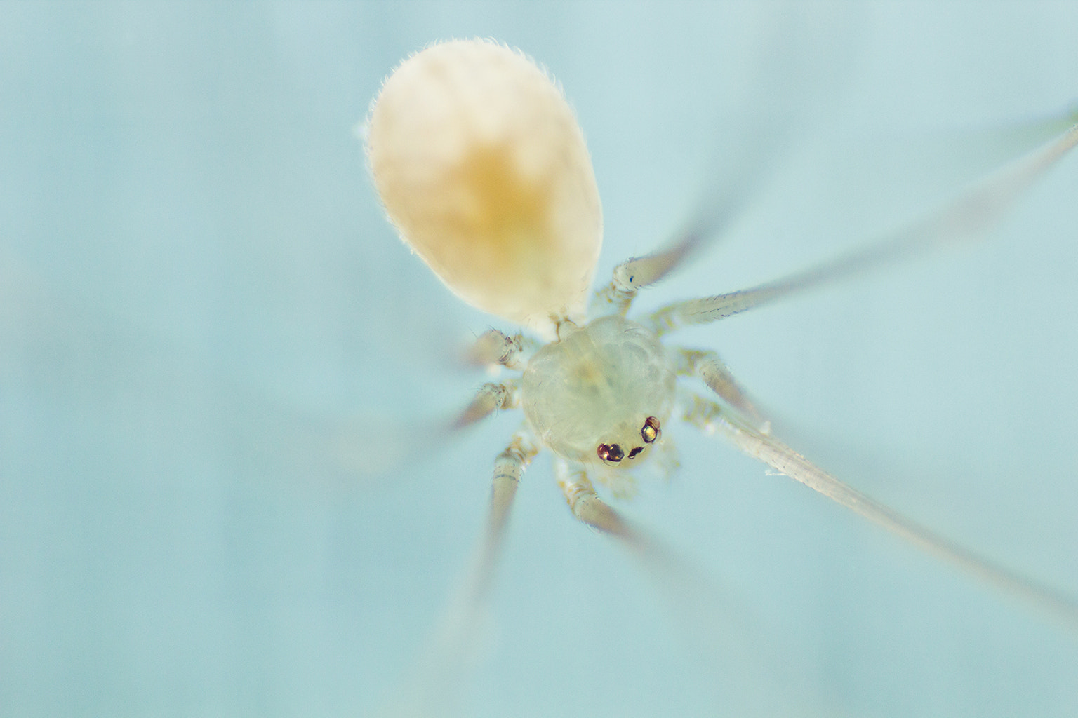 Photograph Spider Pholcus by Hatoripingjung Khong on 500px