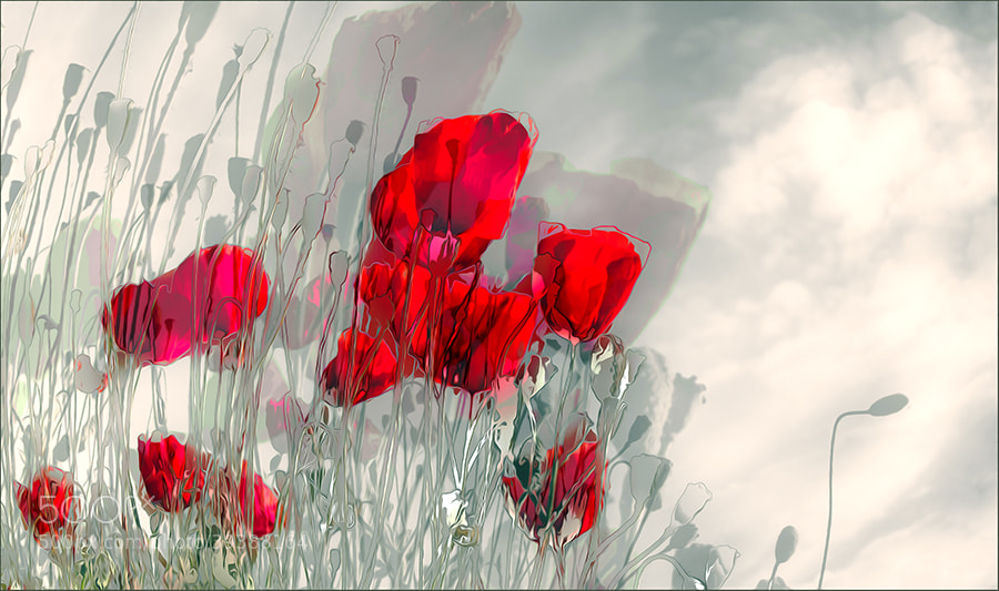 Photograph dance of the poppies by Gilbert Claes on 500px