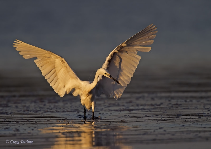 Photograph Little Egret by Gregg Darling on 500px