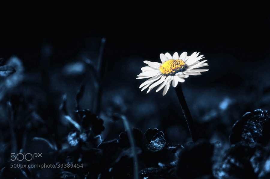 Photograph daisy blue by Rudi (Rudolf) Moerkl on 500px