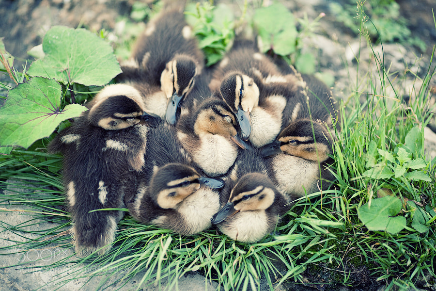 Photograph Duck dreams by Ksenia Chernikova on 500px
