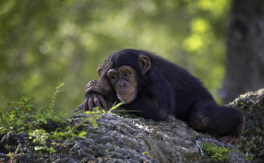 Photograph Do Chimps Dream? by Alfred Forns on 500px