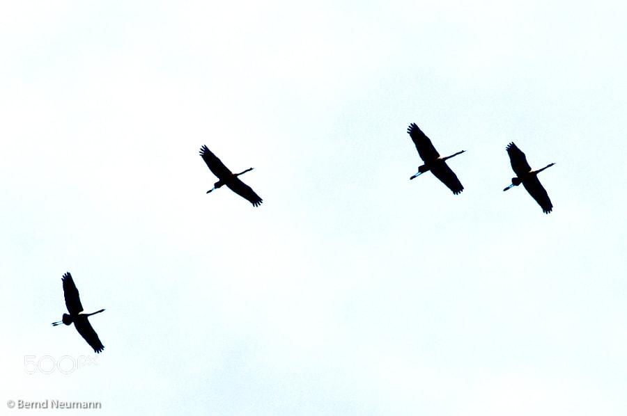 cranes seen in Mecklenburg Vorpommern, Germany