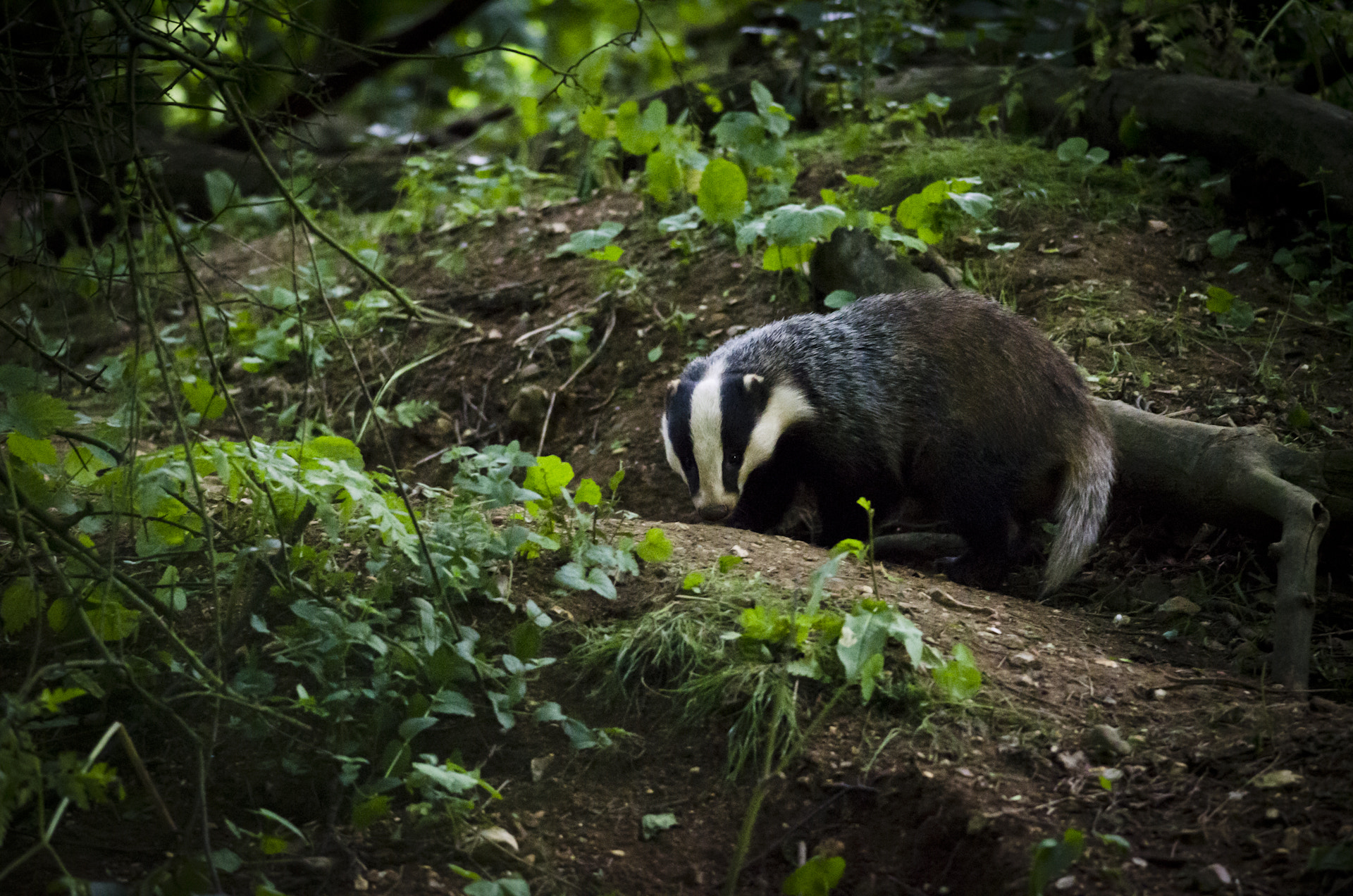 Photograph My first Badger encounter by Luke Millward on 500px