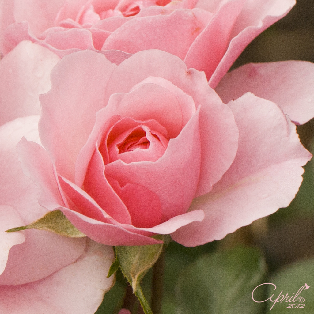 Photograph Pink Opening by April  on 500px