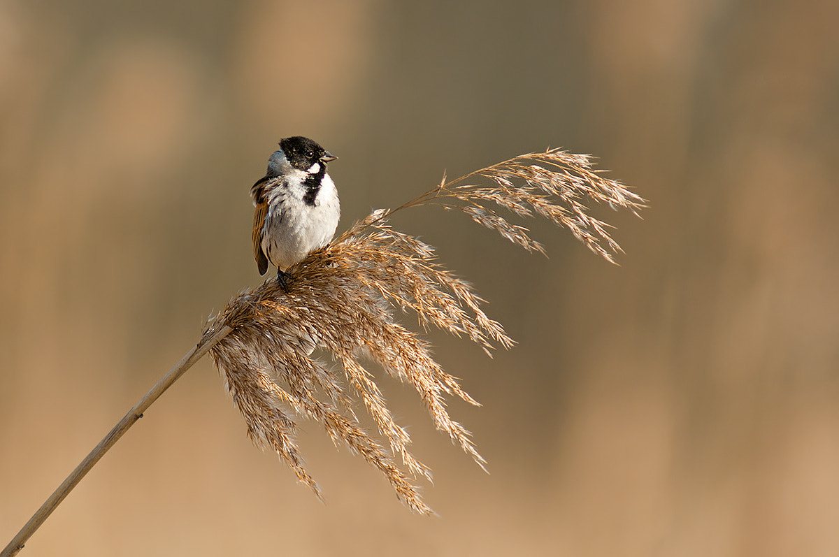 Photograph Reed Bunting by Rob Janné on 500px
