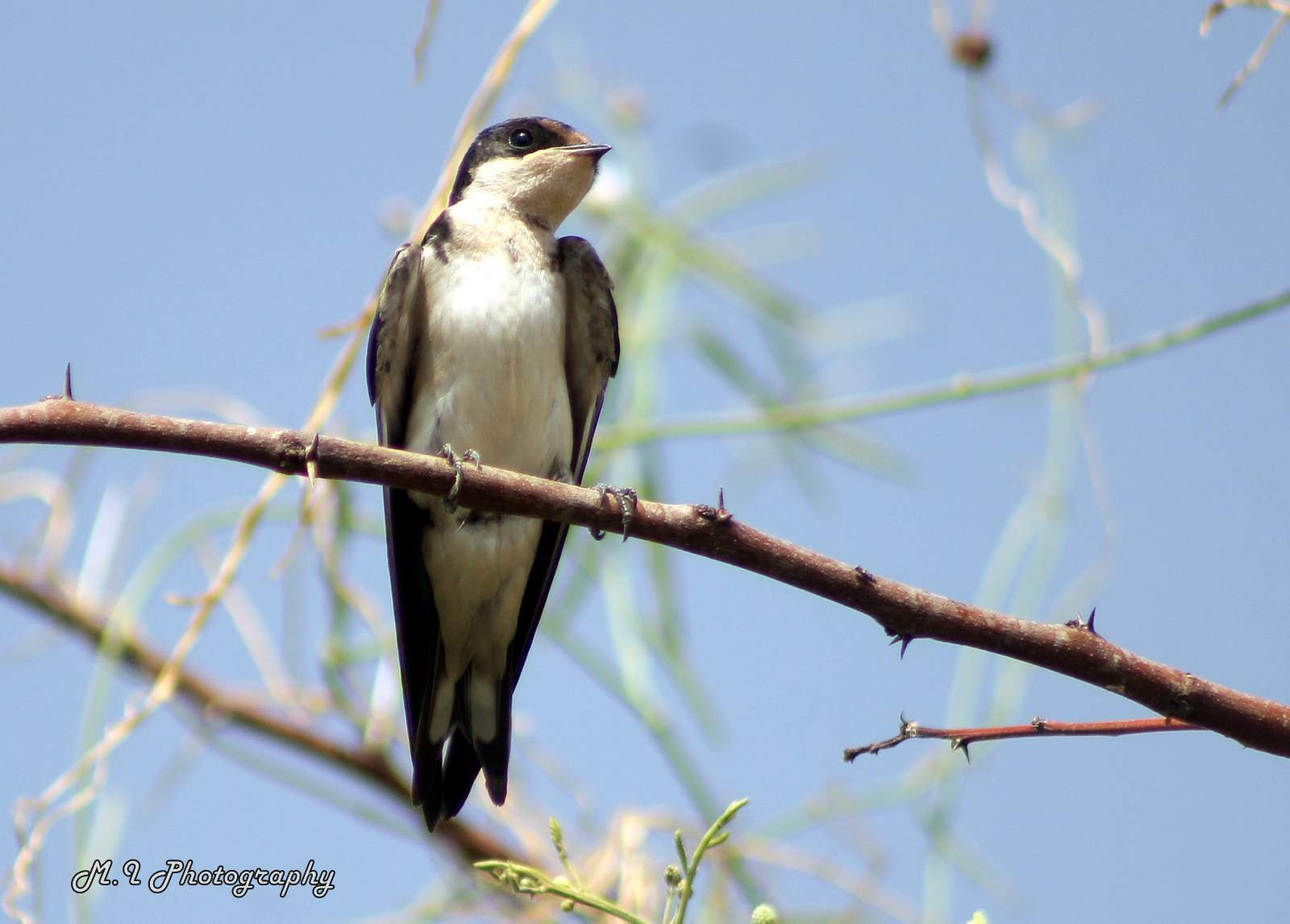 Photograph Ethiopian swallow 3/7/2013 @moon photo by Mohamed Ismael on 500px