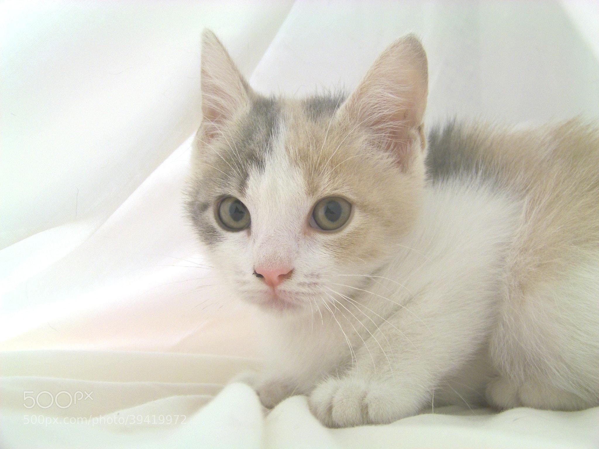 Photograph Grey white tan tabby kitten by Gita Goodwin on 500px