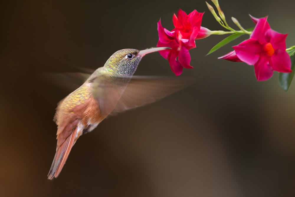 Photograph Colibrì by Stefano Ronchi on 500px