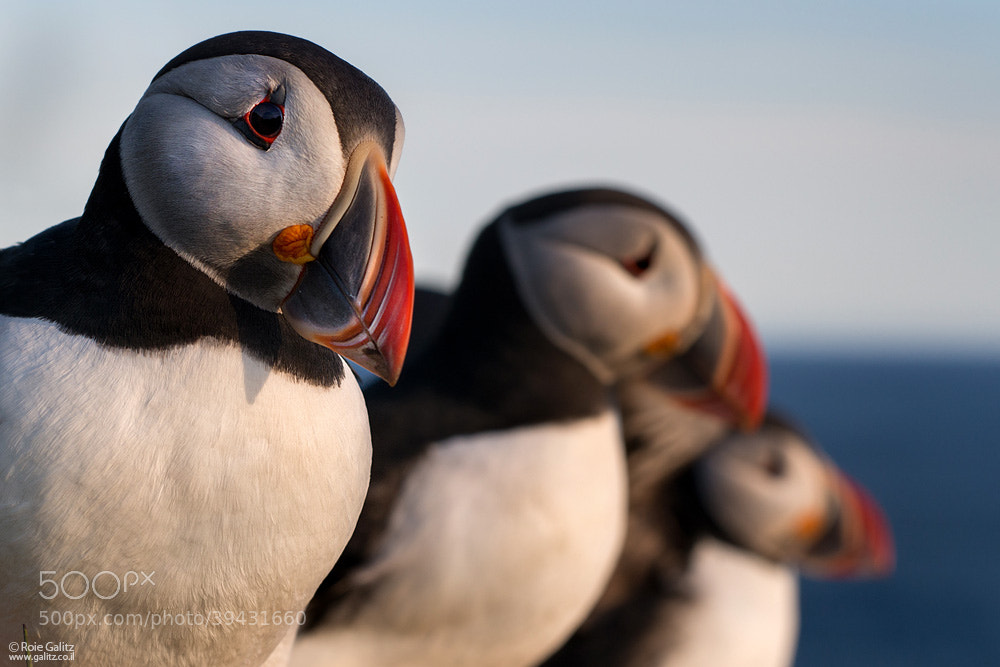 Photograph Puffin Trio by Roie Galitz on 500px
