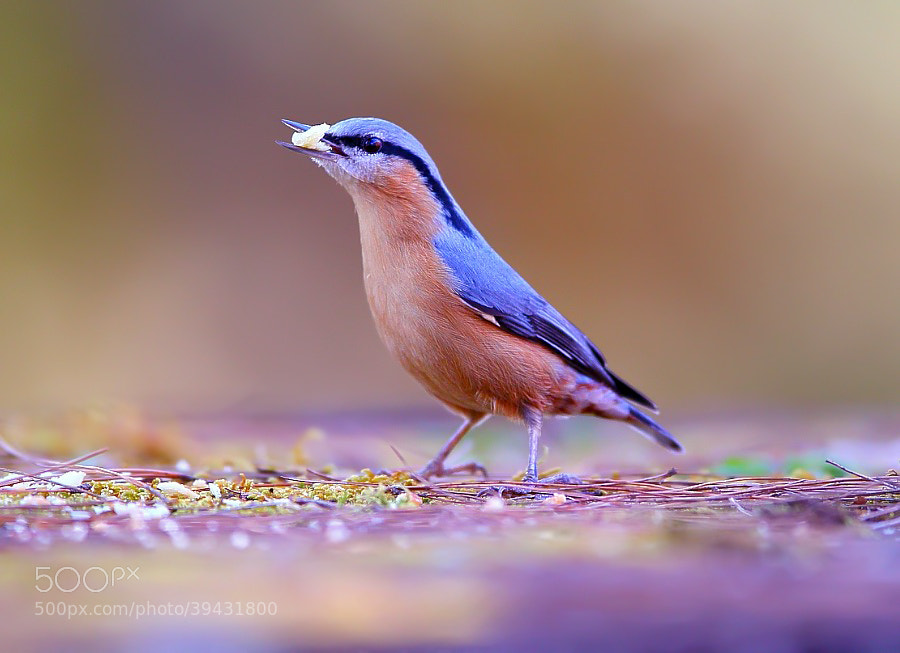 Photograph {Nuthatch} by Dajan Chiou on 500px