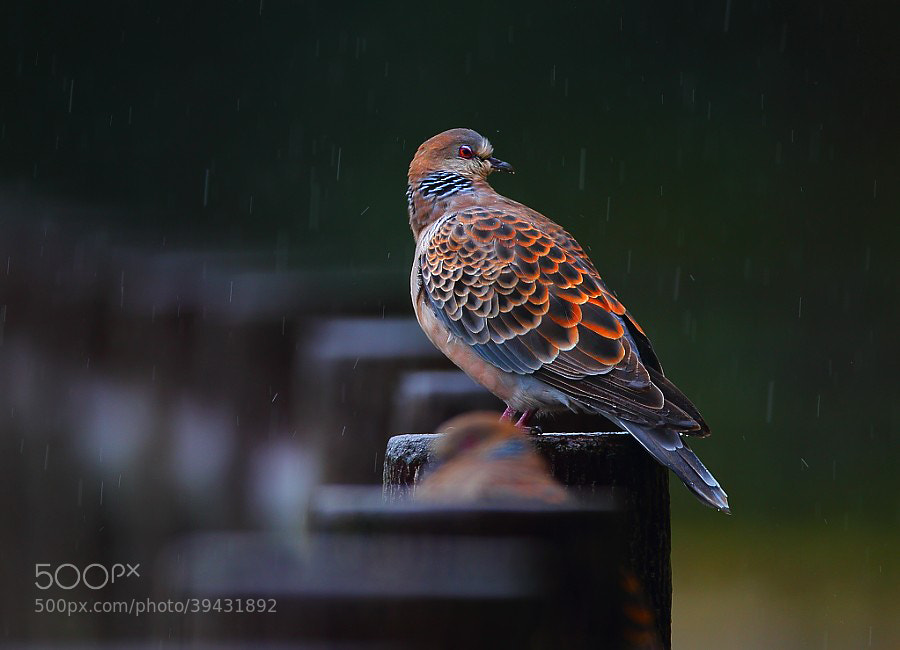 Photograph ..thinking in the rain.. by Dajan Chiou on 500px
