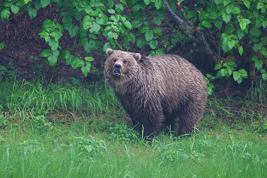 Photograph Last Valdez Grizzly by Buck Shreck on 500px