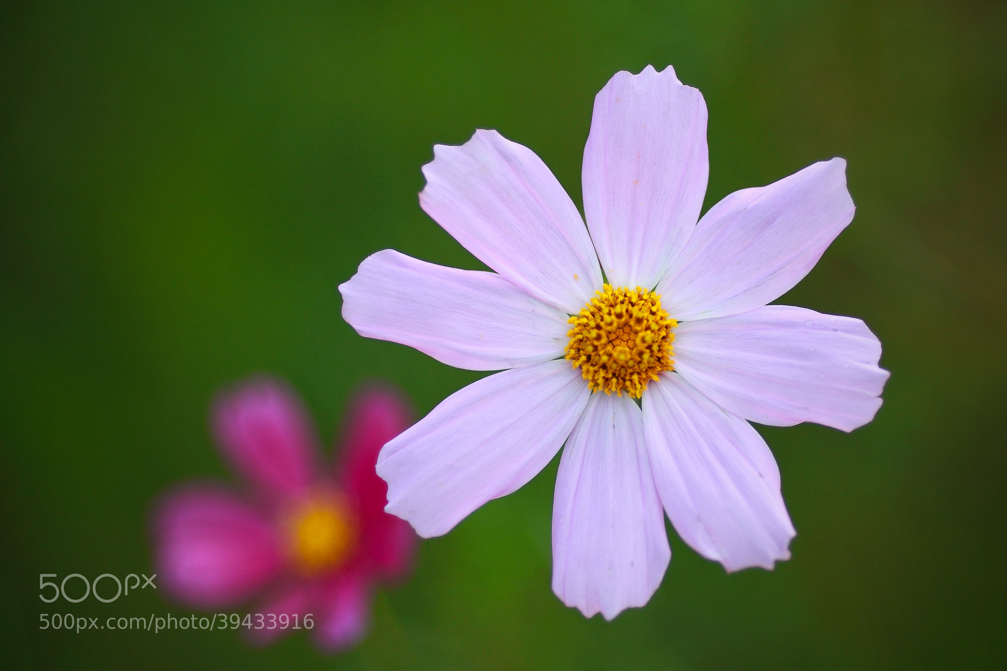 Photograph common cosmos by jungwoo Kim on 500px