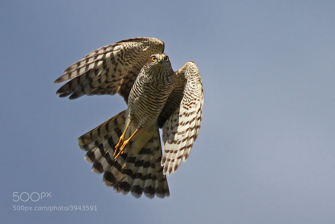 Photograph Sparrowhawk by Svend Erik Nørgaard on 500px