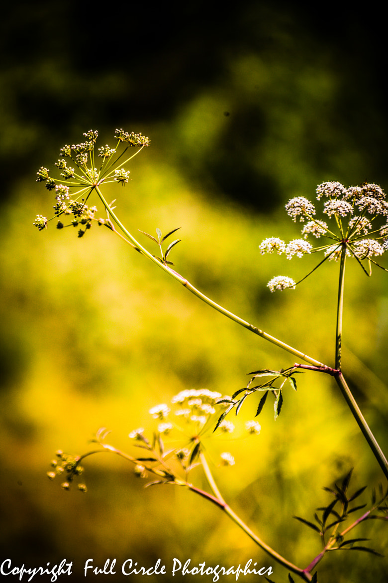 Photograph Water Hemlock by Pandyce McCluer on 500px