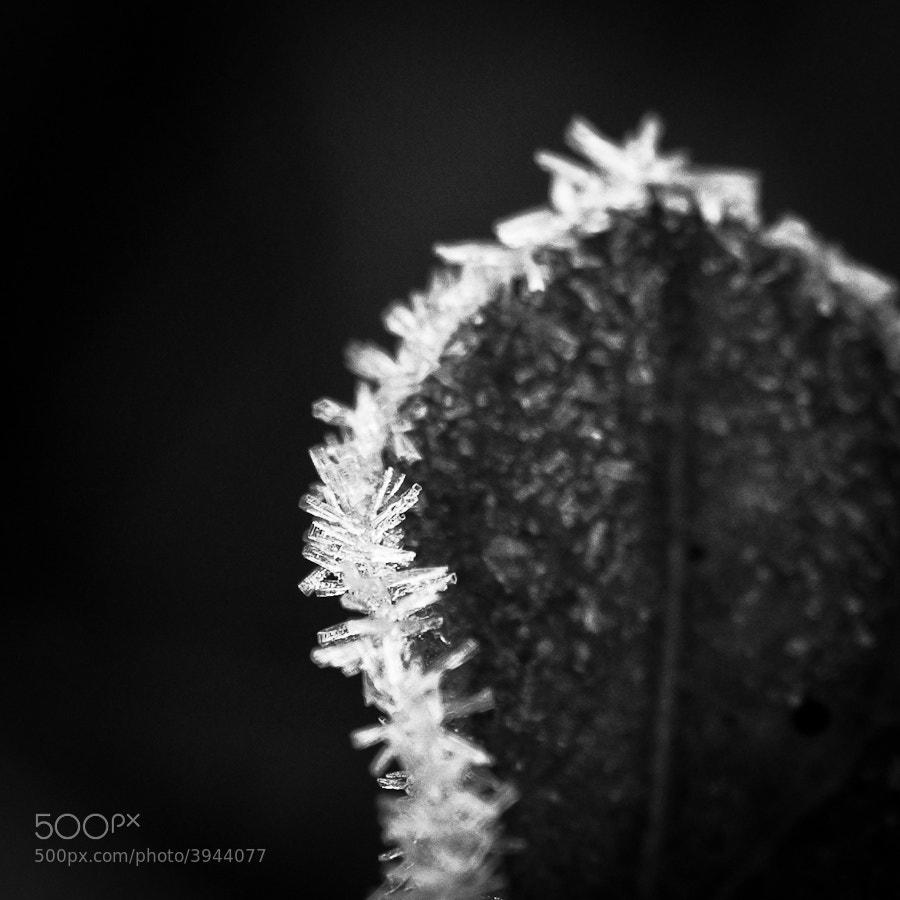 Photograph Frosted leaf by Christoph Dohmesen on 500px