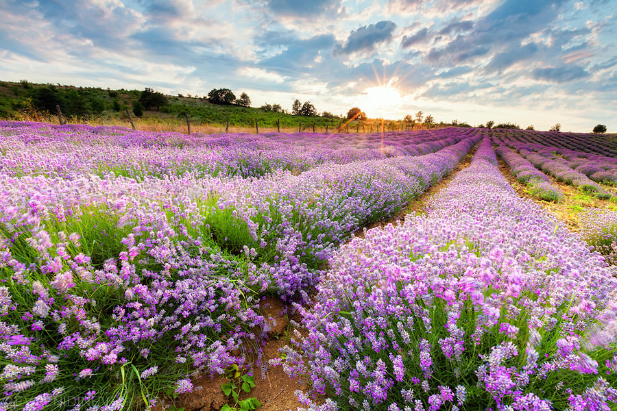 Photograph Sunny Lavender by Evgeni Dinev on 500px