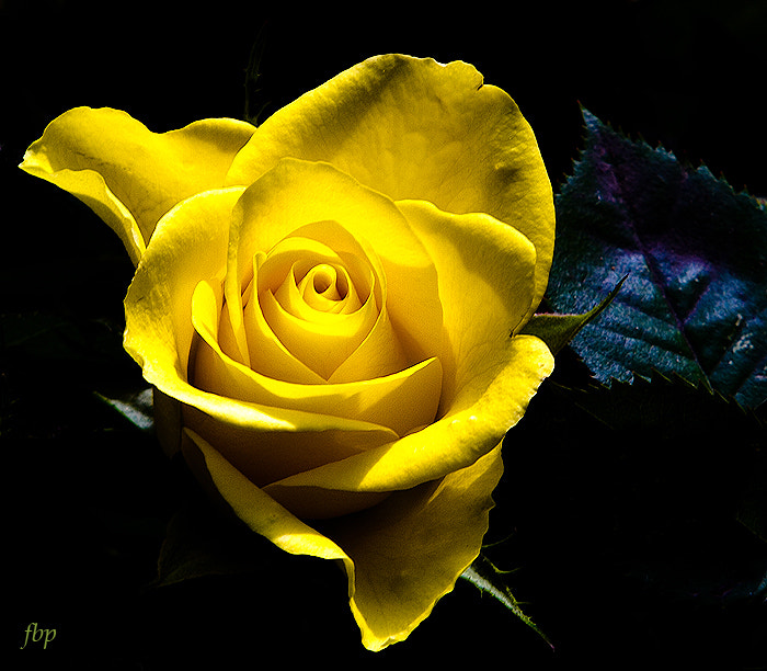 Photograph Yellow Rose forever...... by Dave Smith on 500px